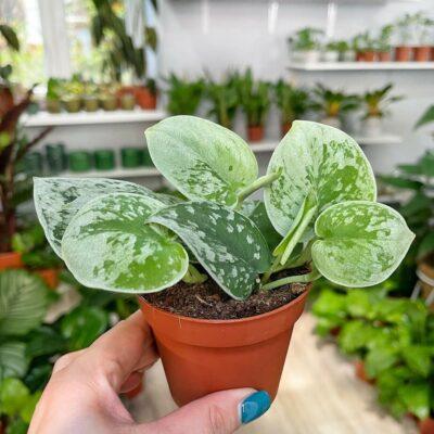 Scindapsus pictus silver ann