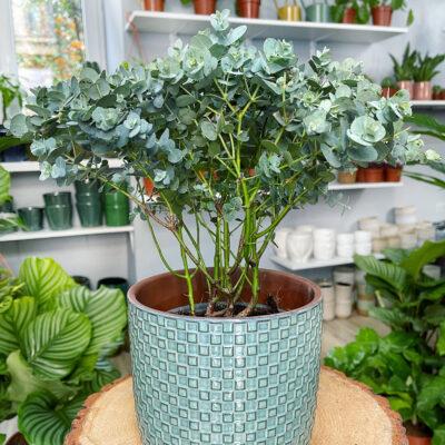 eukaliptus oslonka elza seledynowa lola flora