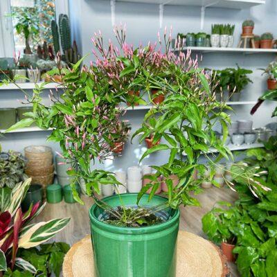 rozowy jasmin lola flora