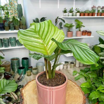 calathea orbifolia lola flora