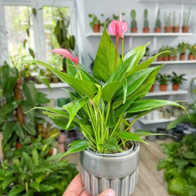 Anthurium Lilli